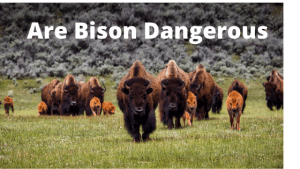Are Bison Dangerous