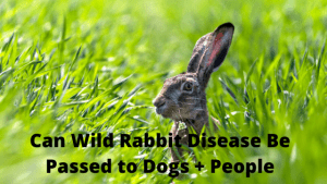 Can Wild Rabbit Disease be Passed to Dogs