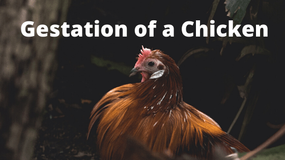 What is Gestation of a Chicken