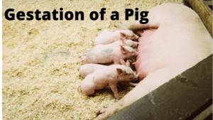 How Long is Gestation of a Pig