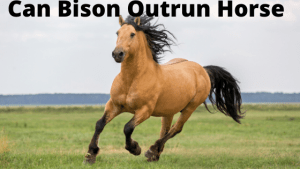 Can Bison Outrun a Horse