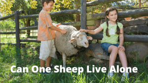Can One Sheep Live Alone