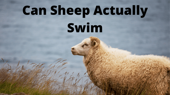 Can Sheep Actually Swim