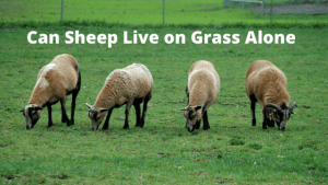 Can Sheep Live on Grass Alone