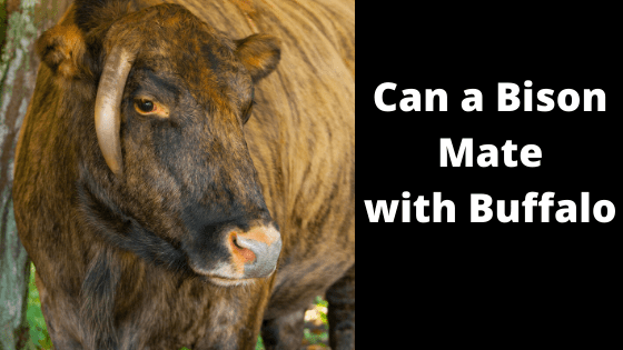 Can a Bison mate with a Buffalo
