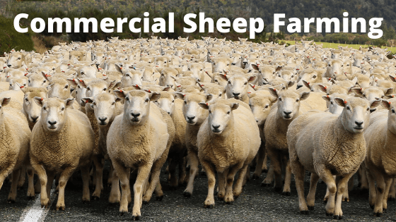 Commercial Sheep Farming