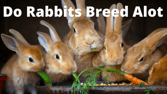 Do Rabbits Breed Alot
