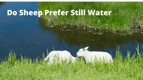 Do Sheep Prefer Still Water