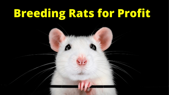 Breeding Rats for Profit