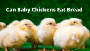 Can Baby Chickens Eat Bread