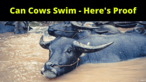 Can Cows Swim - Here's Proof