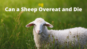Can a Sheep Over Eat and Die