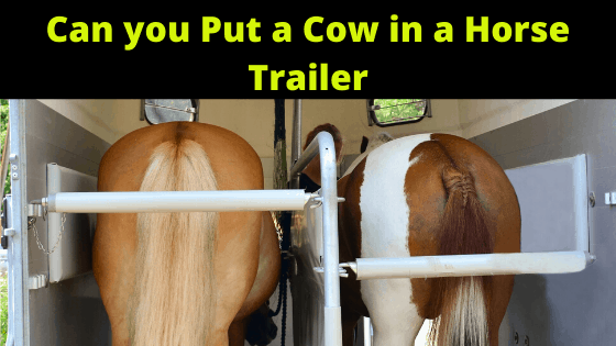 Can You Put a Cow in a Horse Trailer