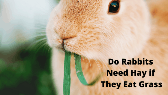 Do Rabbits Need Hay if They Eat Grass