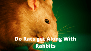 Do Rats Get Along with Rabbits