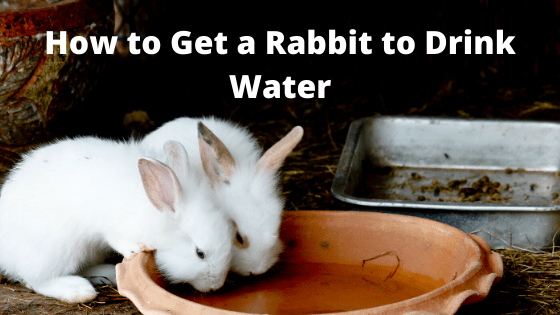 How to Get a Rabbit to Drink Water