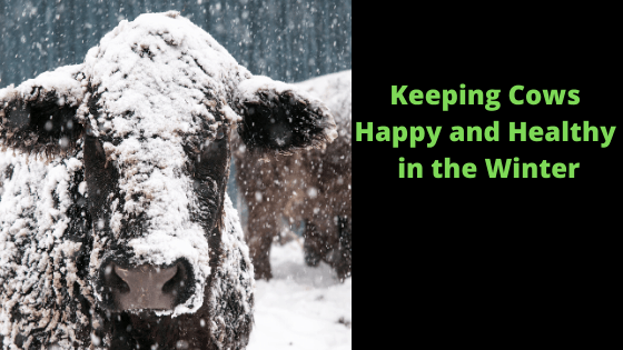 Keeping Cows Happy and Healthy in the Winter