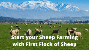 Start your Sheep Farming with First Flock of Sheep