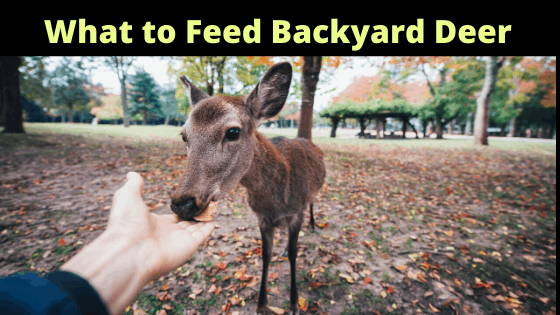 What to Feed Backyard Deer