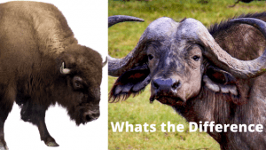 Whats the difference Bison VS Buffalo