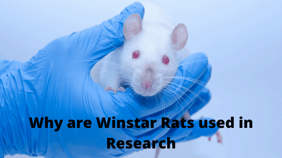 Why are Winstar Rats used in Research