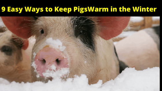 9 Easy Ways to Keep PigsWarm in the Winter