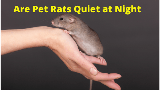 Are Pet Rats Quiet at Night