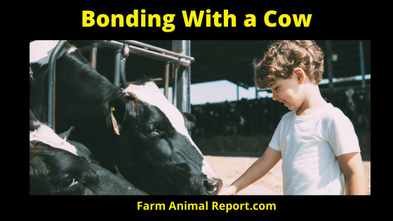 Bonding with a Cow