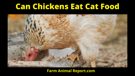 Can Chicken's Eat Cat Food