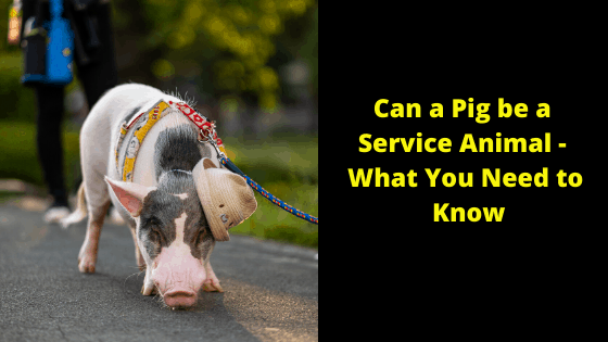 Can a Pig be a Service Animal - What You Need to Know