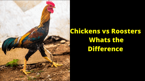 Chickens vs Roosters Whats the Difference
