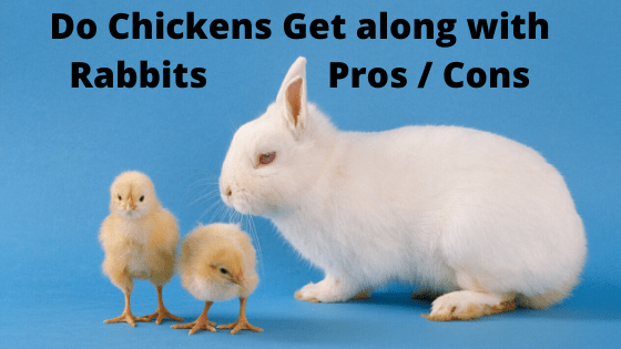 Do Chickens Get along with Rabbits _ Pros Cons