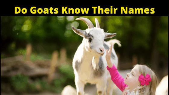 Do Goats Know Their names