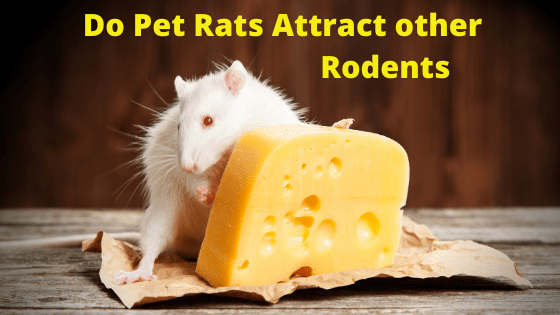 Do Pet Rats Attract other Rodents