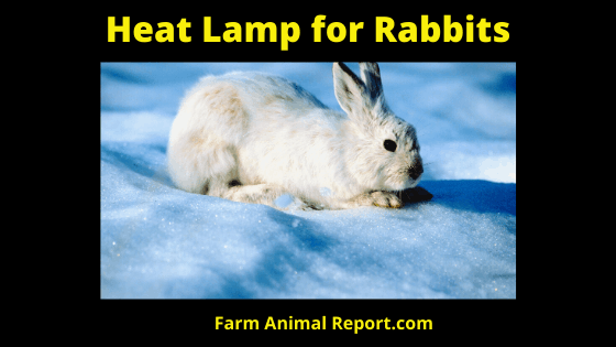 Heat Lamp for Rabbits