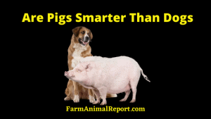 Pigs smarter than dogs