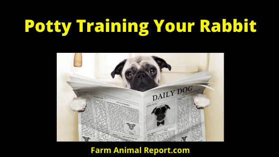 Potty Training Your Rabbit