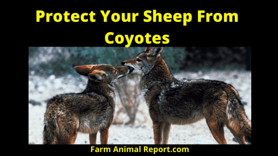 Protect Your Sheep From Coyotes