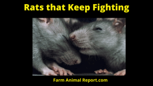 Rats that Keep Fighting
