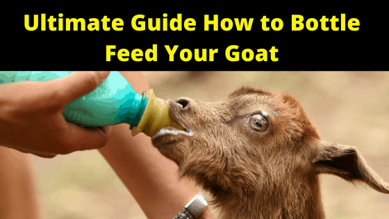 Ultimate Guide How to Bottle Feed Your Goat