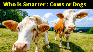Who is Smarter Cows or Dogs