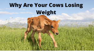 Why Your Cows are Losing Weight?
