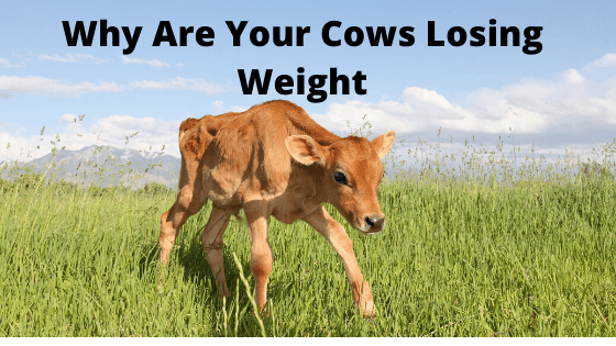 Why Are Your Cows Losing Weight