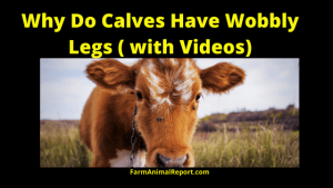 Why Does My Calf Have Wobbly Legs