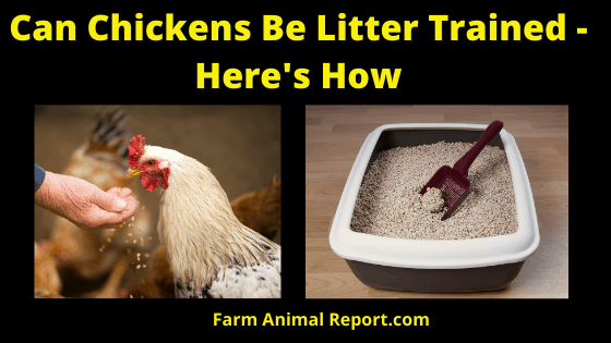 How to Litter Train a Chicken