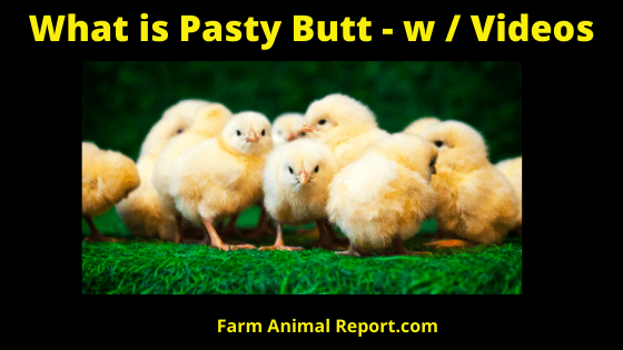 Why Chickens Feces Stained Their Vent Feathers - Videos ...