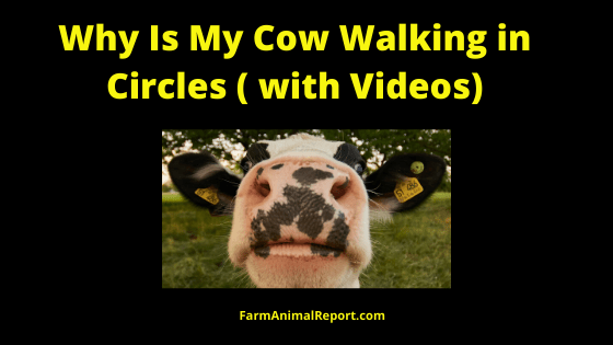 Why is my Cow Walking in Circles