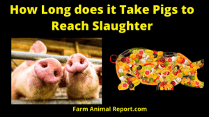 How How Long does it Take Pigs to Reach SlaughterLong Does it take