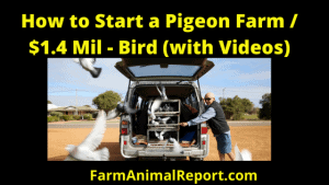 How to Start a Pigeon Farm / $1.4 Mil - Bird (with Videos)