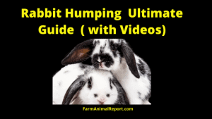 Rabbit Humping with Videos